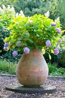 Hydrangea macrophylla in terracotta pot