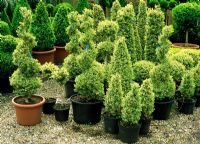 Variegated Buxus topiary in the sales area including spirals, pyramids, small lollipops and balls - River Garden Box Nursery
