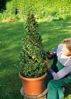 Jenny training a Buxus pyramid into a spiral - River Garden Box Nursery