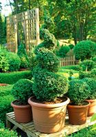 Specimen Buxus spiral and balls in the sales area - River Garden Box Nursery