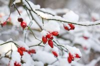 Rosa - Rosehips with snow