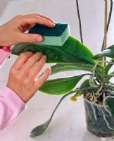 Cleaning leaves of Phalaenopsis with a damp cloth