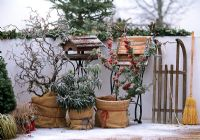 Corylus 'Contorta', Rhododendron, Pyracantha with hesian wrapped around pots for winter protection