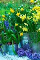 Metal buckets of Narcissus 'Hawera', Narcissus 'Tete a Tete', Muscari and Blue Jacket Hyaciths on table