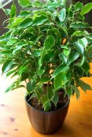 Ficus 'Kinky' - Weeping Fig in pot