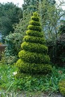 Spiral box topiary with fresh spring shoots - The Crossing House, Shepreth, Cambridge