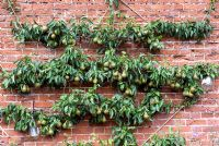 Espaliered pear tree against wall with pear liquor jars