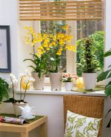 Oncidium, Phalaenopsis and Epipremnum 'Enjoy' on windowledge
