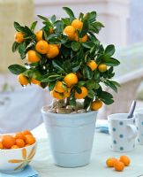 Citrofortunella microcarpa - Calamondin orange growing in pot beside bowl with Citrus - Kumquat
