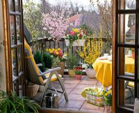 Balcony garden with mixed container plantings of Prunus, Forsythia, Cytisus, Tulipa, Narcissus, Hyacinthus, Iberis and Hedera