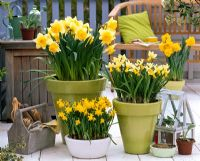 Container plantings of Narcissus 'Sunshine', 'Trena' and 'Tete a Tete'
