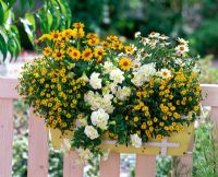 Balcony windowbox with Zinnia Profusion 'Yellow' and 'White', Sanvitalia Summerlovers 'Improved Yellow Sun', Petunia Sylvana 'Double Champagne'