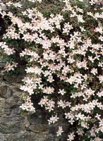 Clematis montana climbing over stone wall