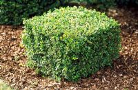 Buxus microphylla 'Faulkner' - Box cube at Langley Boxwood Nursery