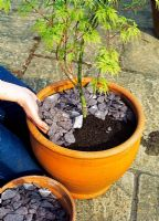 Step 7 of planting an Acer in a terracotta pot - Cover the surface with broken shale for extra drainage