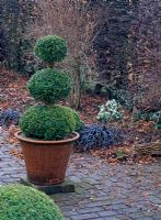 Topiary in terracotta pot