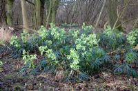 Helleborus foetidus - Stinking Hellebore colony in Hatfield Forest, Essex. This species forms part of the justification for this Site of Special Scientific Interest SSSI
