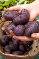 Container grown potatoes 'Salad Blue'