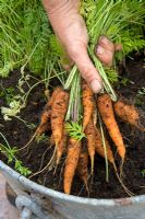 Lifting carrots from an old latrine bucket container