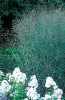 Panicum virgatum 'Heavy Metal', Switch Grass and Phlox paniculata 'David'