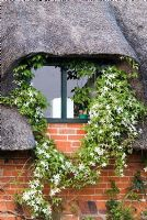 Clematis montana var. wilsonii climbing around a window and over a thatched roof in May