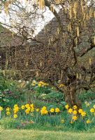Corylus avellana 'Contorta' - Corkscrew Hazel underplanted with Narcissus