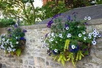 Hanging wall baskets planted with blue veined Surfinias, Heliotrope 'Marine', Salvias and Lysimachia aurea