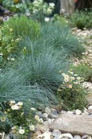 Coastal style garden with Festuca glauca 'Intense Blue' and Erigeron karvinskianus in flint gravel - 'Shinglesea', Silver-Gilt Flora Medal, RHS Chelsea Flower Show 2007