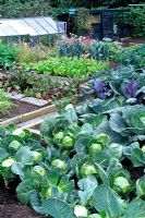 Large bed of cabbages growing in a vegetable garden