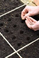 Sowing radish seeds in beds designed for square foot gardening