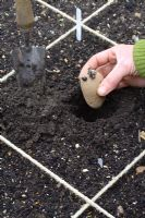 Planting chitted potatoes 'Wilja' in beds designed for square foot gardening