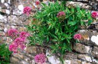 Centranthus ruber - Self seeded red valerian growing in drystone wall