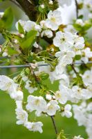 Prunus 'Morello' - Sour cherry