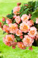 Begonia 'Fragrance Elfie' in hanging basket