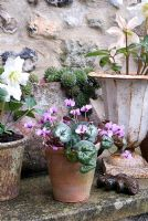 Cyclamen coum and Helleborus niger in container display