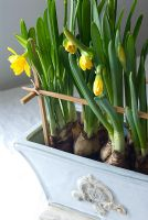 Narcissus 'Tete a Tete' in container supported by chopsticks - Homemade Spring decoration