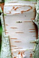 Betula utilis occidentalis 'Kyelang'