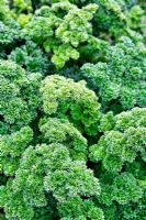 Parsley 'Green Pearl'
