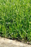 Lolium multiflorum - Green manure break crop of overwintered Italian Ryegrass