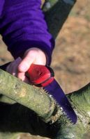 Pruning apple tree branch with folding hand saw in November