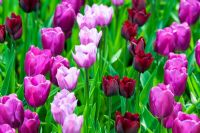 Tulipa 'Ronaldo', 'Purple Prince' and 'Violet Beauty' at Keukanhof gardens, Amsterdam