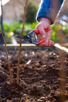 Planting autumn bare rooted raspberries - Pruning with secateurs