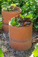 Lettuces 'Little Gem Improved' and 'Red Oakleaf' growing in sections of terracotta flue liner used as pots, with copper strips around lower section to prevent slugs and snails attacking the plants