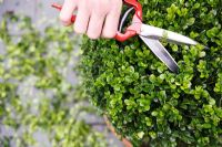 Buxus - Man pruning topiary box ball in pot, with topiary shears