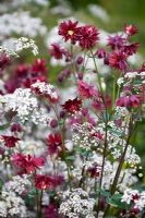Anthriscus sylvestris 'Ravenswing' and Aquilegia vulgaris var. stellata 'Ruby Port' in Nature Ascending Garden - Gold medal winner for Urban Garden at RHS Chelsea Flower Show 2009