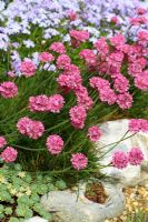 Armeria maritima, Sedum pacyclados and Sempervivum in pebble - Thrift or Sea Pink, Stonecrop and Houseleek