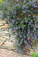 Rosmarinus officinalis 'Severn Sea' tumbling over a wall