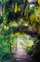 Wisteria and Laburnum tunnel - Tilford Cottage, Surrey
