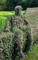 Wire frame hedge of Cotoneaster simonsii hedge and figurative topiary - Tilford Cottage, Surrey