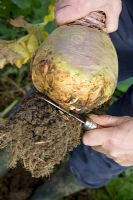 Harvesting swede - Cutting the roots off